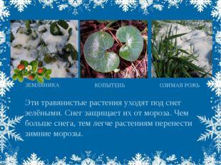 Эти травянистые растения уходят под снег зелёными. Снег защищает их от мороза
