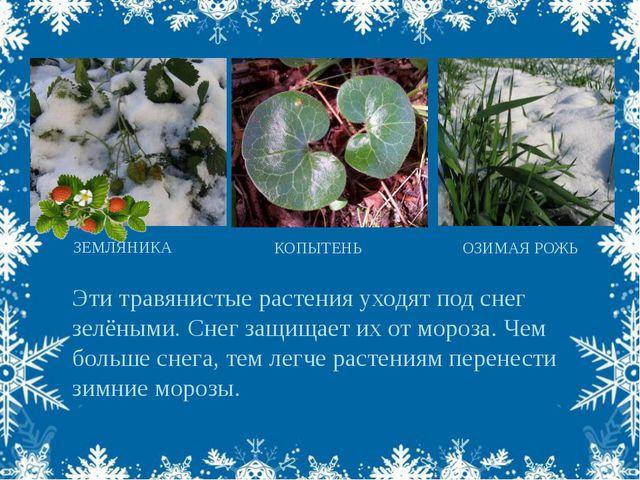 Эти травянистые растения уходят под снег зелёными. Снег защищает их от мороза...
