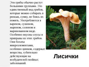 Эти грибы обычно растут большими группами. Это единственный вид грибов, котор