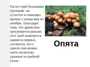 Растет гриб большими группами на сухостое и гниющих щепках с конца мая по окт