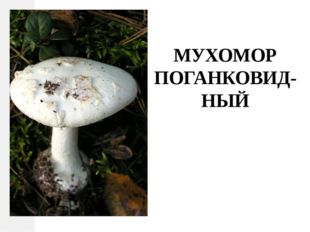 МУХОМОР ПОГАНКОВИД-НЫЙ