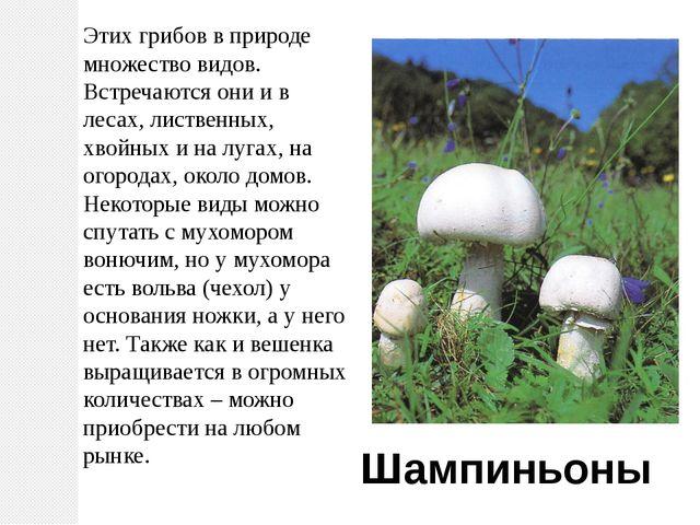 Этих грибов в природе множество видов. Встречаются они и в лесах, лиственных,...