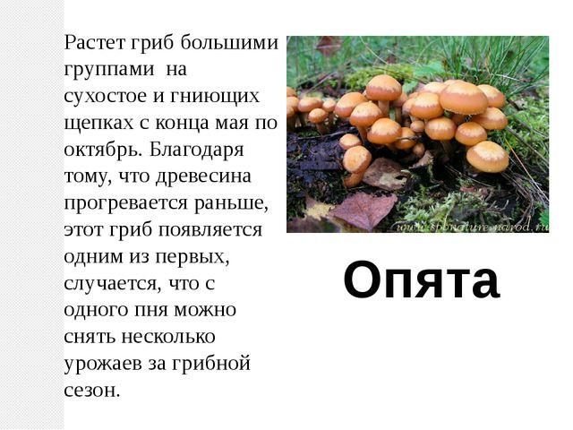 Растет гриб большими группами на сухостое и гниющих щепках с конца мая по окт...