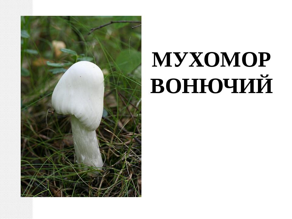 МУХОМОР ВОНЮЧИЙ