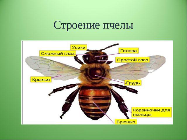 Строение пчелы