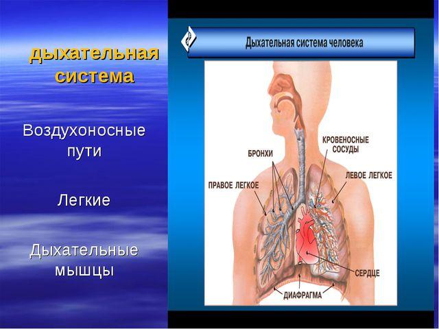 дыхательная система Воздухоносные пути Легкие Дыхательные мышцы