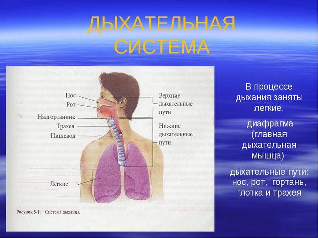ДЫХАТЕЛЬНАЯ СИСТЕМА В процессе дыхания заняты легкие, диафрагма (главная дыха...