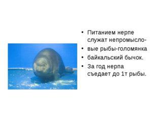 Питанием нерпе служат непромысло- вые рыбы-голомянка байкальский бычок. За го