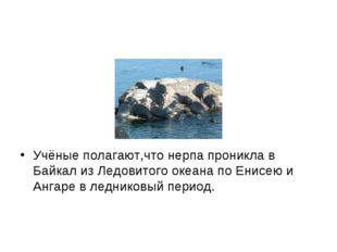 Учёные полагают,что нерпа проникла в Байкал из Ледовитого океана по Енисею и