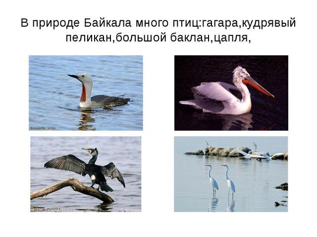В природе Байкала много птиц:гагара,кудрявый пеликан,большой баклан,цапля,