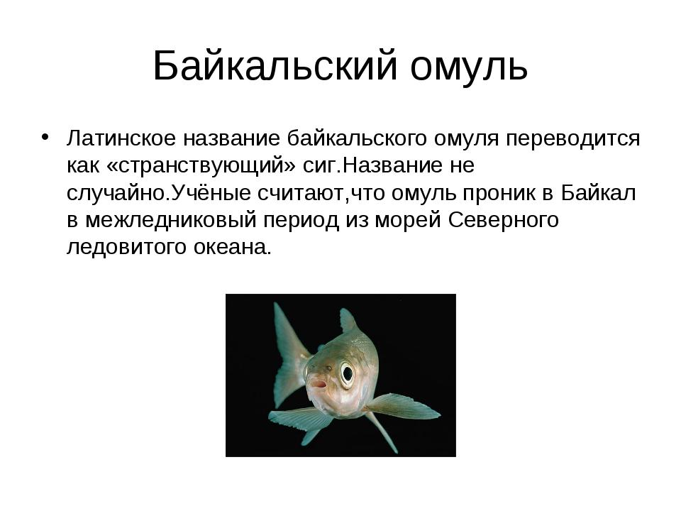 Байкальский омуль Латинское название байкальского омуля переводится как «стра...