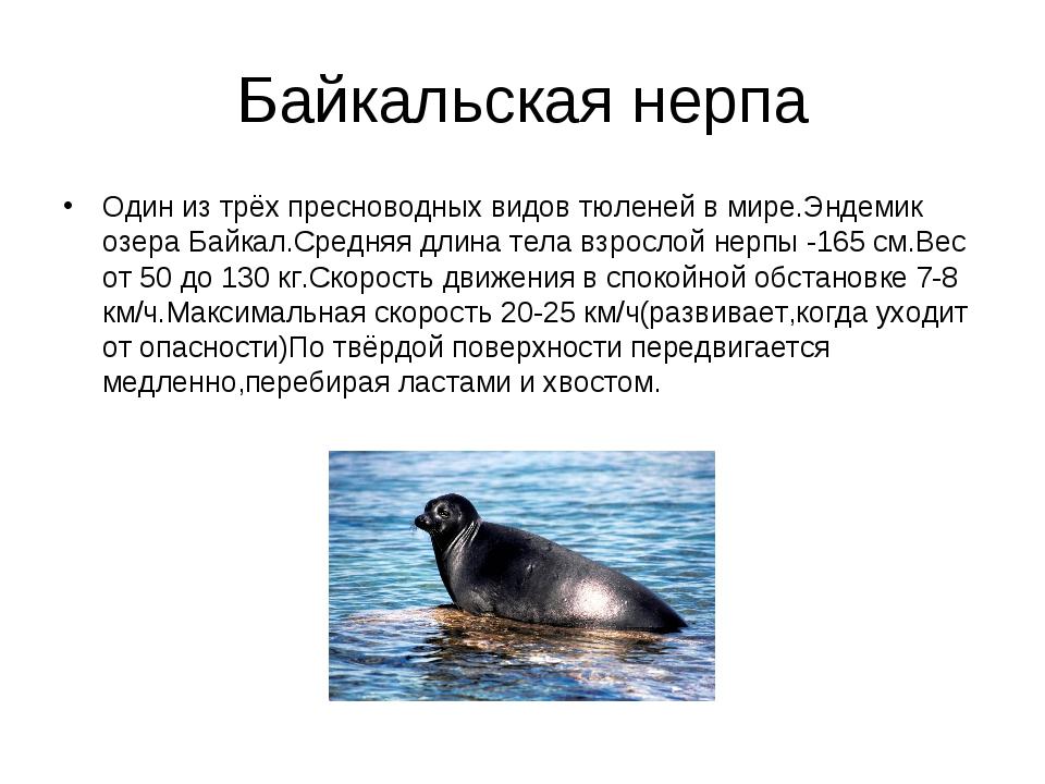 Байкальская нерпа Один из трёх пресноводных видов тюленей в мире.Эндемик озер...