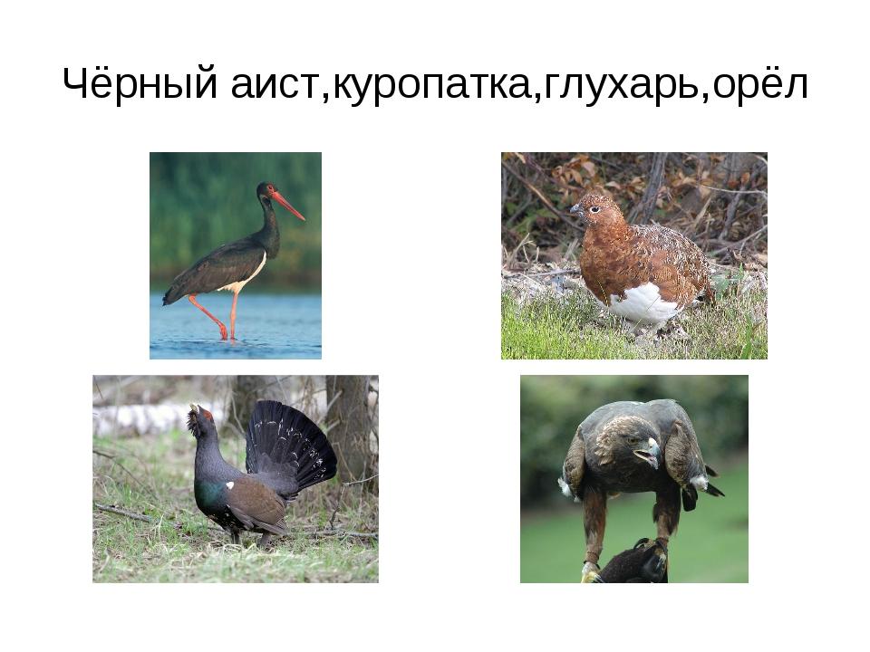Чёрный аист,куропатка,глухарь,орёл