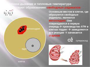 клетка ядро митохондрия Основным местом в клетке, где образуются свободные р