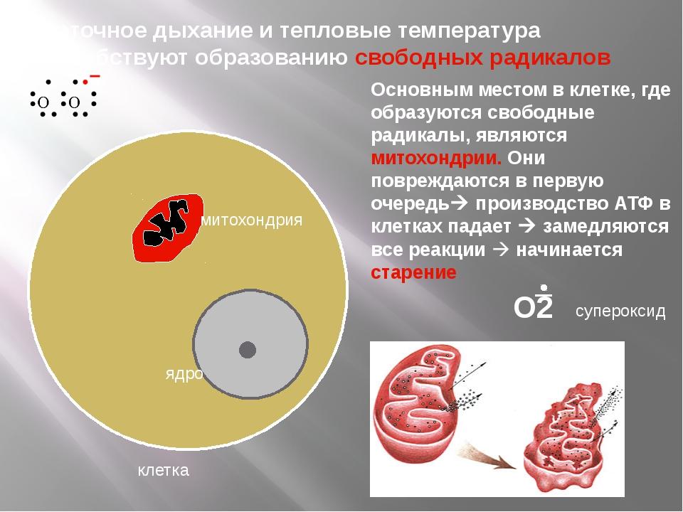 клетка ядро митохондрия Основным местом в клетке, где образуются свободные р...