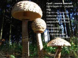 Гриб – зонтик девичий Категория III – редкий вид. Растет на богатых гумусом п