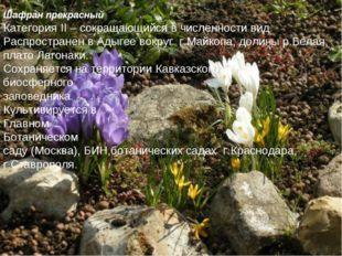 Шафран прекрасный Категория II – сокращающийся в численности вид. Распростран