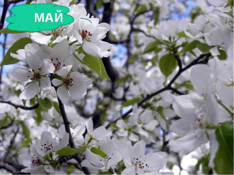 Зеленеет даль полей, Запевает соловей. Вбелый цвет оделся сад, Пчелы первые...