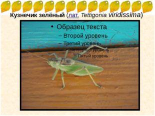 Кузнечик зелёный(лат.Tettigonia viridissima) FokinaLida.75@mail.ru