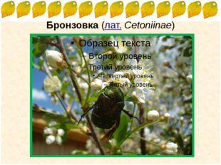 Бронзовка(лат.Cetoniinae) FokinaLida.75@mail.ru