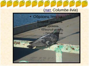 Си́зый го́лубь(лат.Columba livia) FokinaLida.75@mail.ru