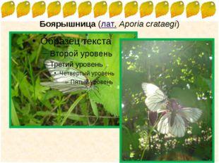 Боярышница (лат.Aporia crataegi) FokinaLida.75@mail.ru