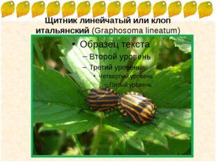 Щитник линейчатыйиликлоп итальянский(Graphosoma lineatum) FokinaLida.75@ma
