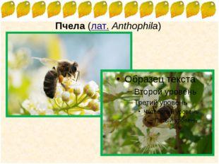 Пчела (лат.Anthophila) FokinaLida.75@mail.ru