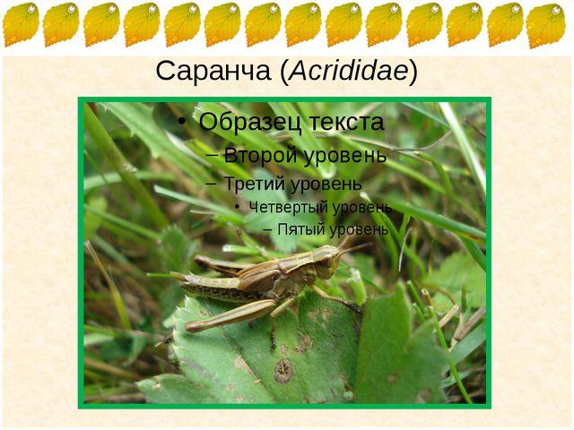 Саранча (Acrididae) FokinaLida.75@mail.ru