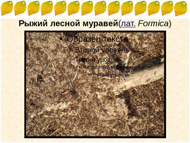 Рыжий лесной муравей(лат.Formica) FokinaLida.75@mail.ru