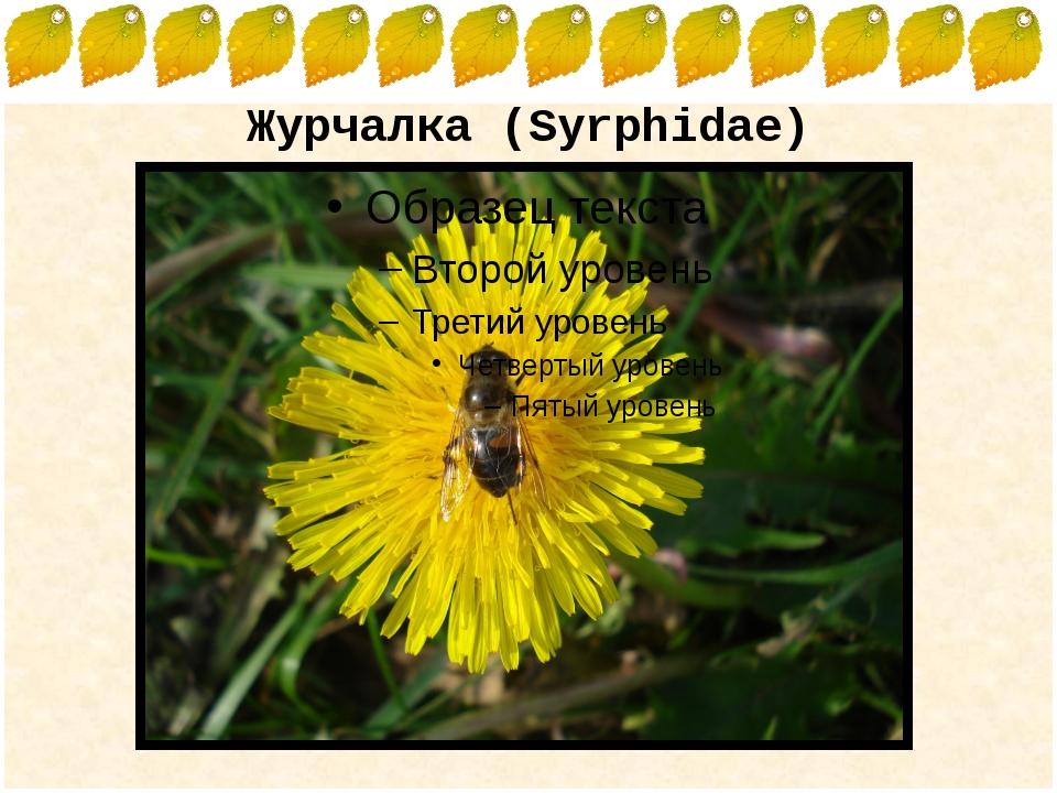Журчалка (Syrphidae) FokinaLida.75@mail.ru