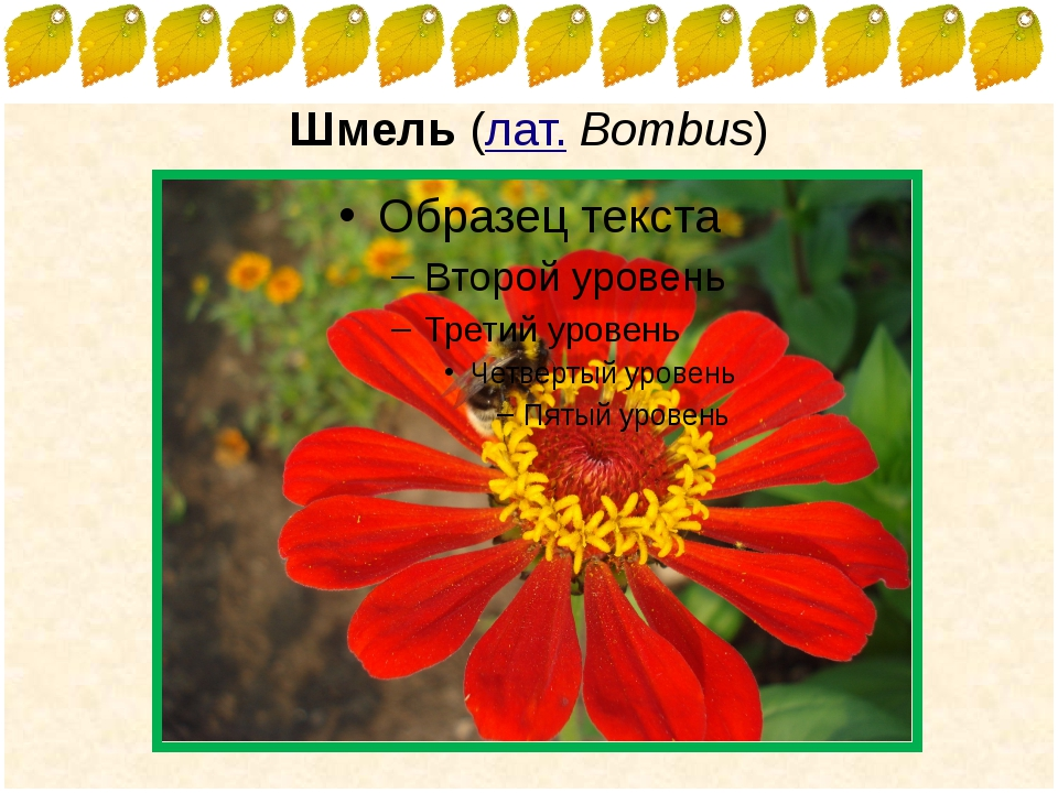 Шмель (лат.Bombus) FokinaLida.75@mail.ru