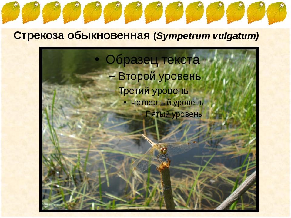 Стрекоза обыкновенная (Sympetrum vulgatum) FokinaLida.75@mail.ru