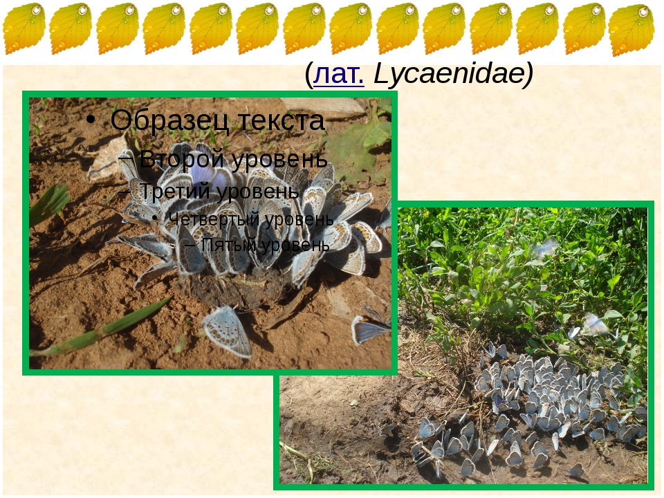 Голубя́нки(лат.Lycaenidae) FokinaLida.75@mail.ru