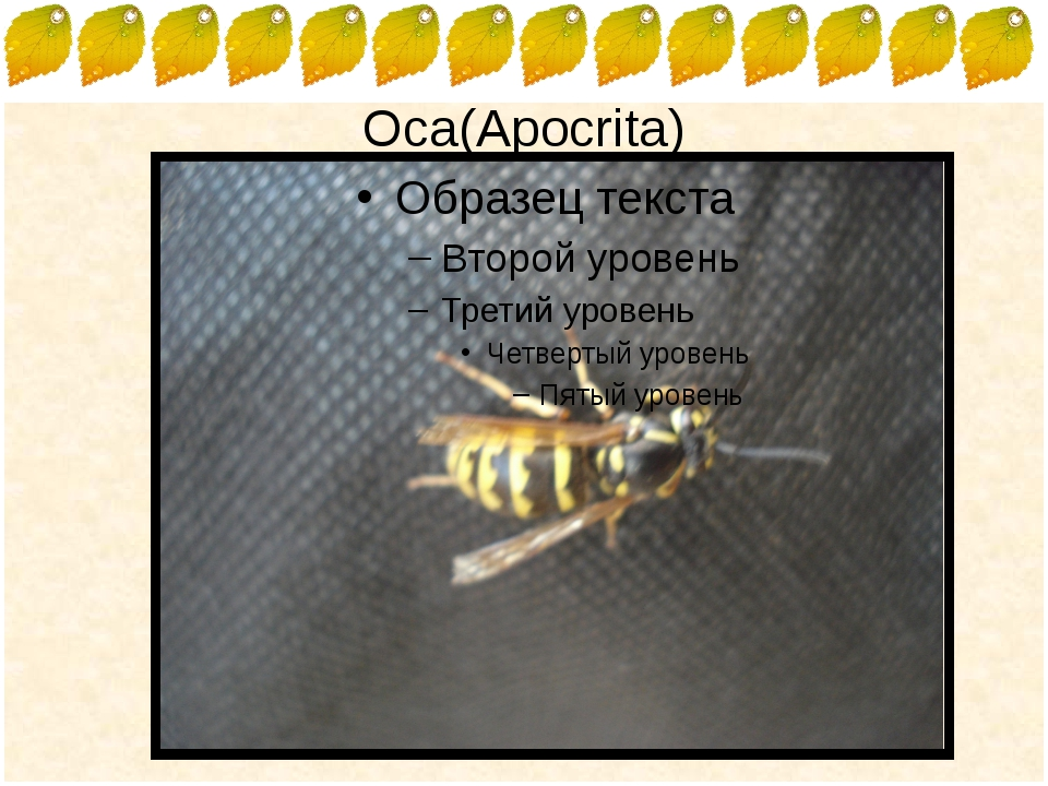 Оса(Apocrita) FokinaLida.75@mail.ru
