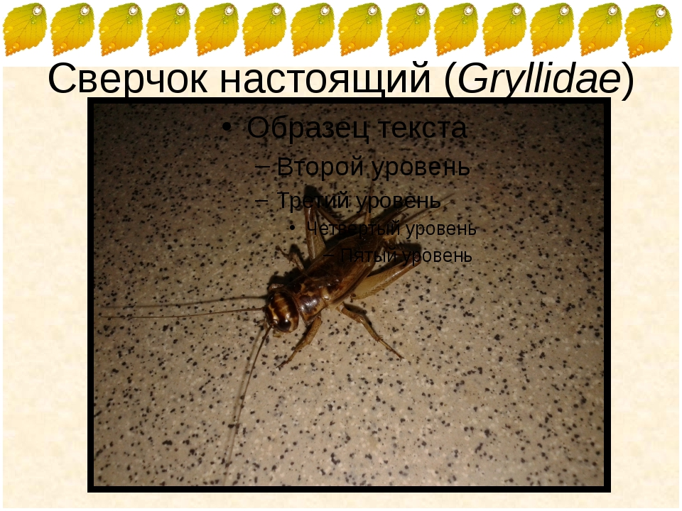 Сверчок настоящий (Gryllidae) FokinaLida.75@mail.ru