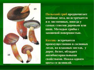Польский гриб предпочитает хвойные леса, но встречается и в лиственных, иног