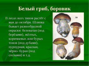 Белый гриб, боровик В лесах всех типов растёт с мая до октября. Шляпка бывает
