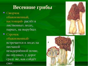 Весенние грибы Сморчок обыкновенный, настоящий- растёт в лиственных лесах, па