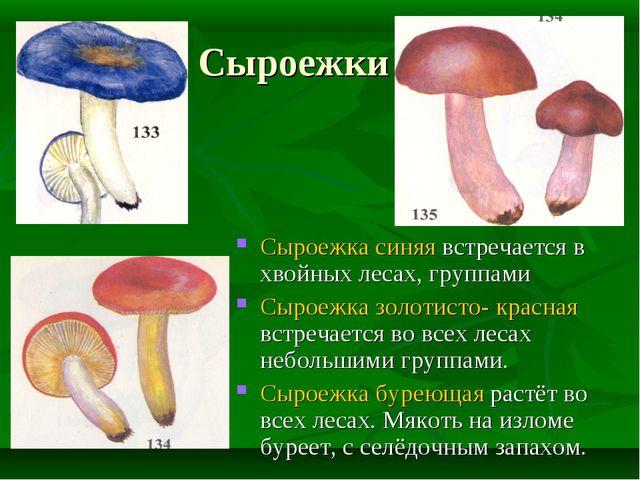Сыроежки Сыроежка синяя встречается в хвойных лесах, группами Сыроежка золоти...