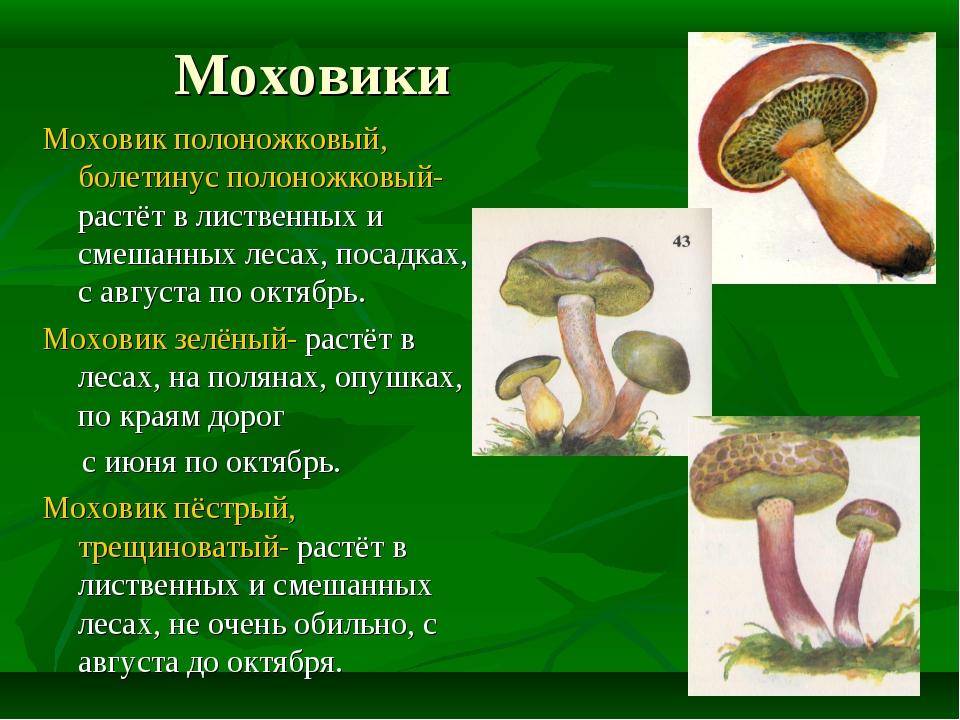 Моховики Моховик полоножковый, болетинус полоножковый- растёт в лиственных и...