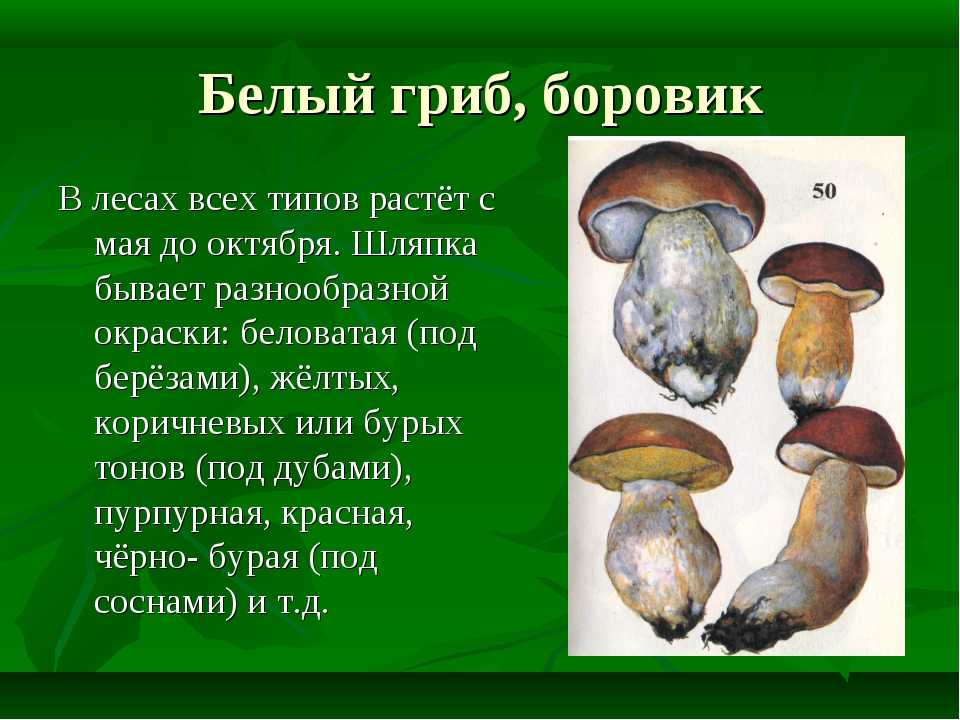 Белый гриб, боровик В лесах всех типов растёт с мая до октября. Шляпка бывает...