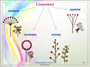 Соцветия Бескоровайная Валентина Анатольевна * кисть зонтик щиток головка Бес