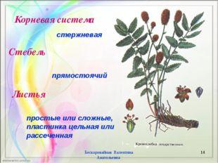 * Бескоровайная Валентина Анатольевна стержневая Стебель Корневая система Лис