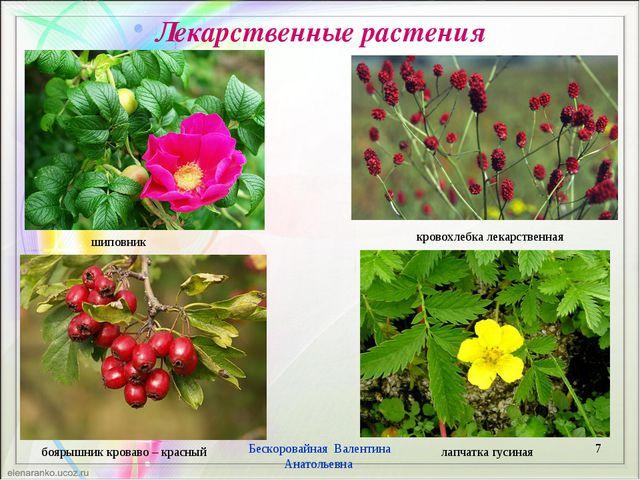 Лекарственные растения * Бескоровайная Валентина Анатольевна лапчатка гусиная...
