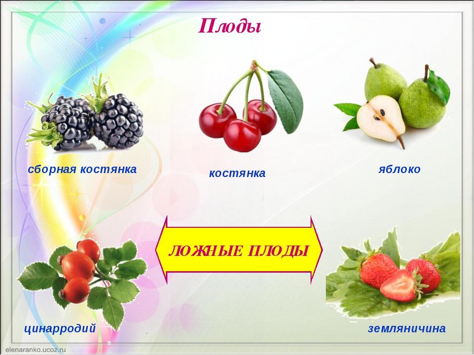 ЛОЖНЫЕ ПЛОДЫ Плоды сборная костянка костянка яблоко цинарродий земляничина
