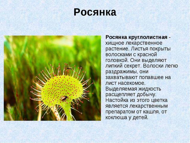Росянка Росянка круглолистная - хищное лекарственное растение. Листья покрыты...