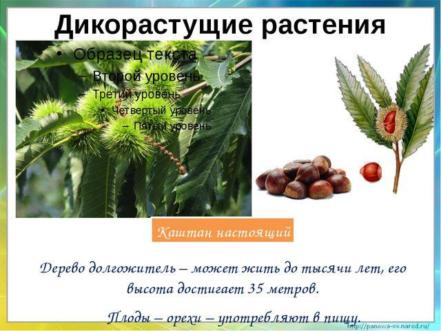 Дикорастущие растения Дерево долгожитель – может жить до тысячи лет, его высо...