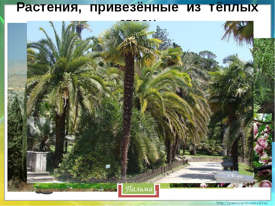 Растения, привезённые из тёплых стран Кипарис Магнолия Пальма