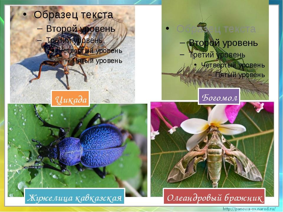Цикада Олеандровый бражник Жужелица кавказская Богомол